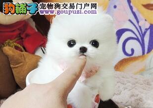 茶杯博美犬 白色 灰色均有 欢迎咨询 武汉周边送上门
