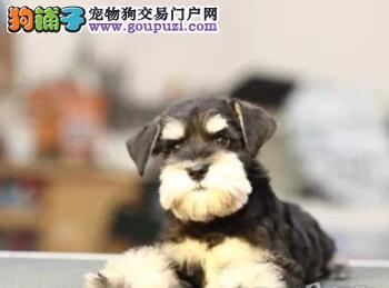 专业狗场出售顶级南京雪纳瑞颜色多只可上门挑选