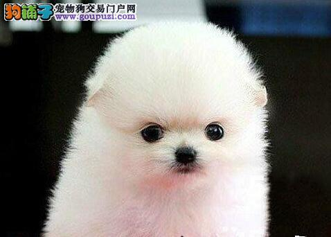 哈多利俊介血系的南昌博美犬找新家 请您放心选购图片