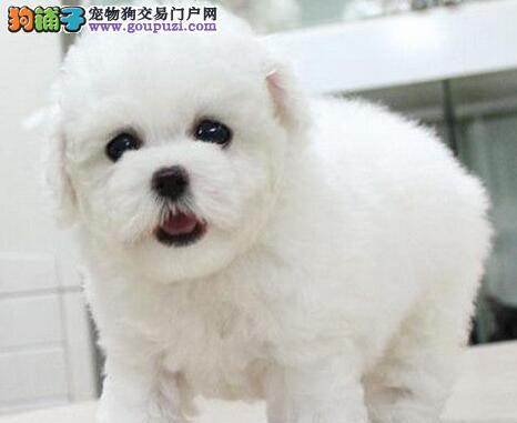 杭州出售小体比熊犬多只可挑选小体比熊长不大的茶杯犬图片