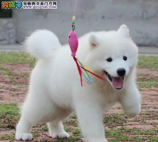 大型狗场热销极品成都萨摩耶犬售后有保障