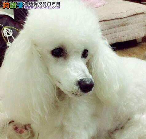 出售极品韩系贵宾犬 北京周边可上门挑选商议价格图片