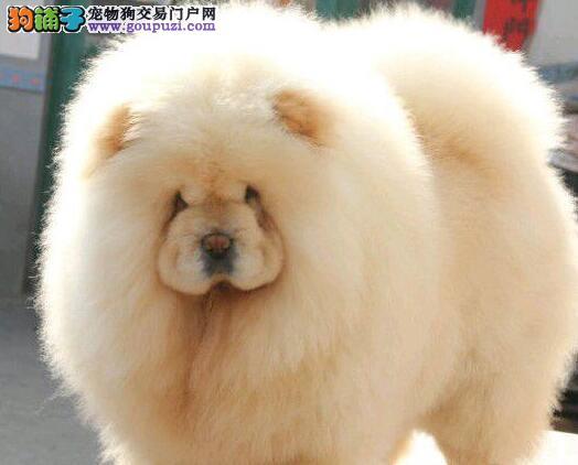 杭州急售松狮犬宝宝肉嘟嘟相貌憨厚品格松狮正直忠诚