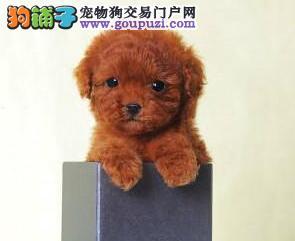 转让优秀品质韩系泰迪犬 周边城市可包邮