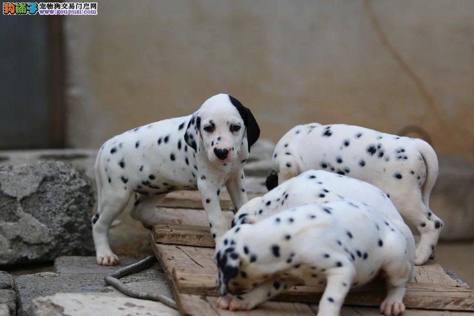 出售纯种斑点狗幼犬 赛级双血统 已打疫苗 签售后协议