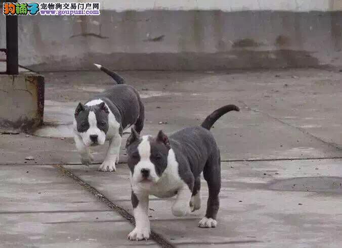 青岛美国恶霸犬幼犬出售 强健体型 震撼眼球