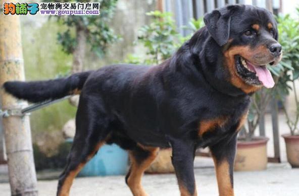 福州出售猛犬,三个月高品质大头罗威纳幼犬