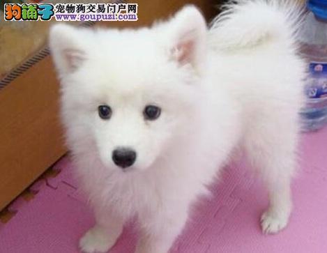 养殖场专业繁殖日本尖嘴银狐幼犬 疫苗打齐 包健康纯种