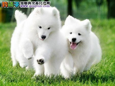 纯种健康萨摩耶宝宝 喜欢来家看狗狗