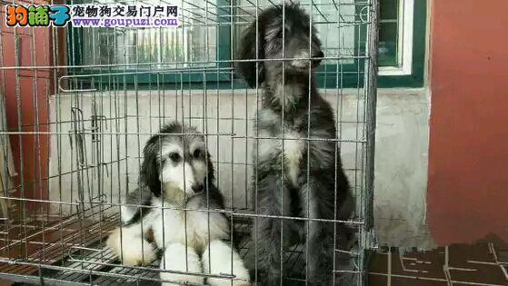 石家庄售阿富汗猎犬 乖巧安静感情细腻 高贵的身材