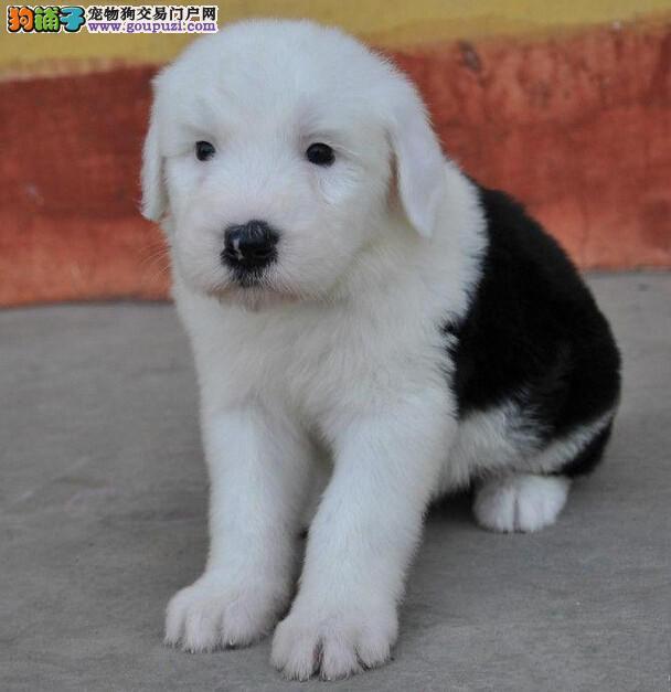 郑州高品质纯种古代牧羊犬出售 疫苗做完 质量三包