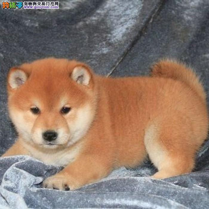 广州售纯种健康柴犬幼犬日系柴犬疫苗驱虫已做