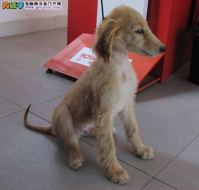 西安实体店出售精品阿富汗猎犬保健康一宠一证视频挑选