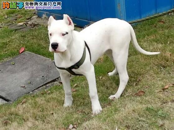 太原出售纯种杜高犬幼犬 健康终身保障签协议送狗用品