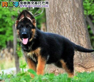 郑州自家繁殖大丹犬出售公母都有品质血统售后均有保障图片