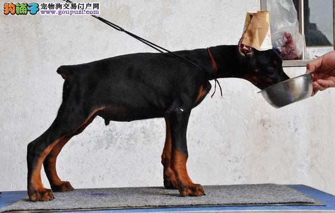 温州市杜宾犬幼犬 公母都有 已打疫苗 可视频看狗 健康