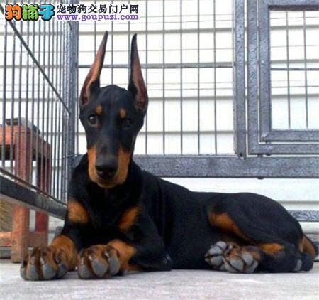 专业繁殖 纯种德系杜宾幼犬宝宝 保纯种 健康。