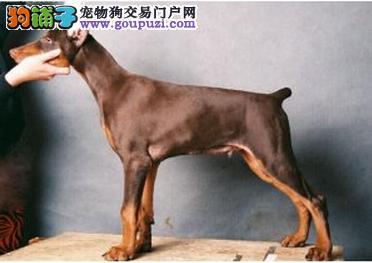 郑州正规狗场犬舍直销杜宾犬幼犬优质售后服务
