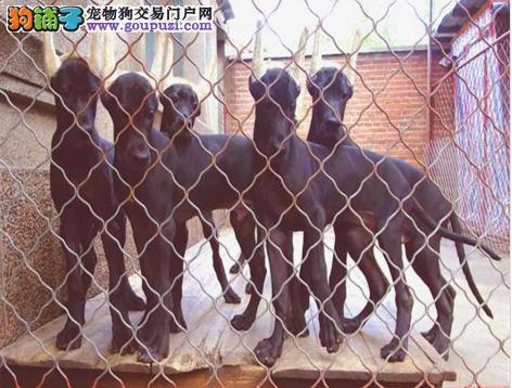 顶级大丹犬幼犬出售 超大骨量 夸张的个头 霸气侧漏