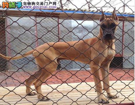 实物拍摄的武汉大丹犬找新主人全国十佳犬舍图片