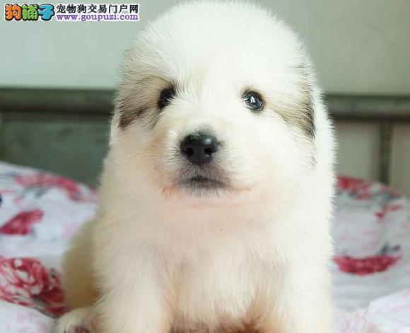 家养熊版大白熊 纯种健康 公母都有 签协议包养活的