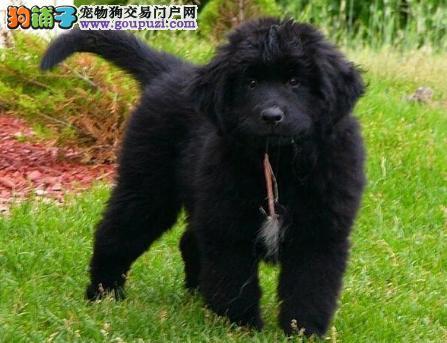 纽芬兰犬出售 包健康纯种 签协议 公母都有 上门挑选