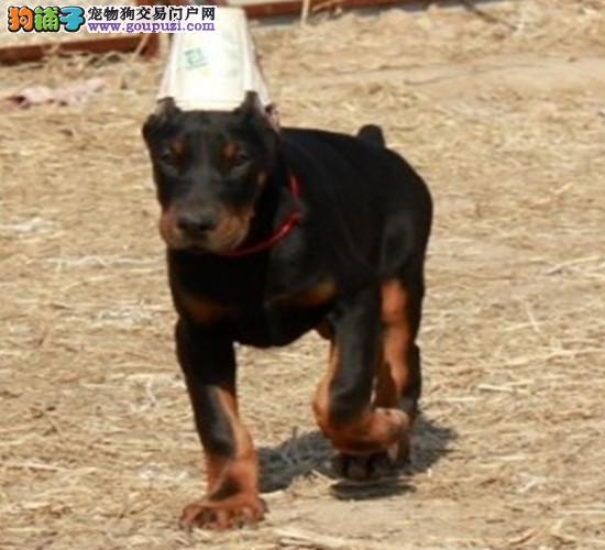 精品纯种海口杜宾犬出售质量三包CKU认证品质绝对保障图片