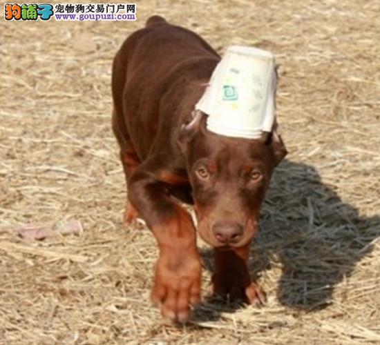 西安犬舍低价热销 杜宾犬血统纯正签署各项质保合同图片