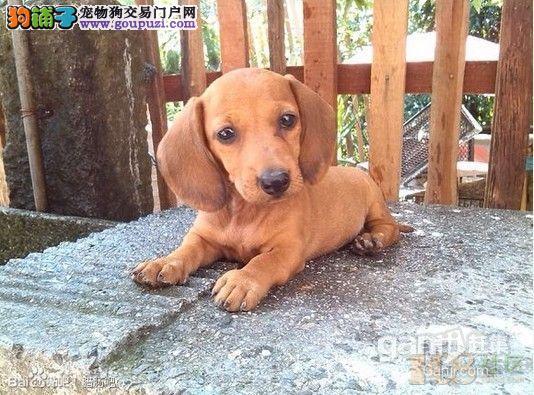 腊肠犬幼崽出售 包纯包健康 疫苗驱虫做完