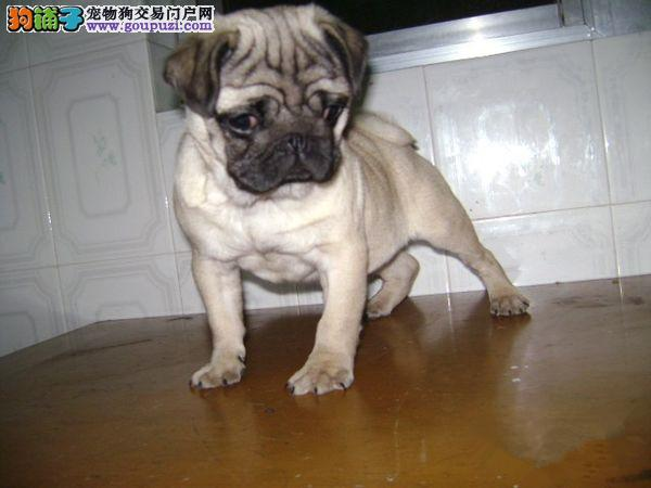 上海养殖场直销巴哥犬包养活签协议赛级巴哥犬幼犬