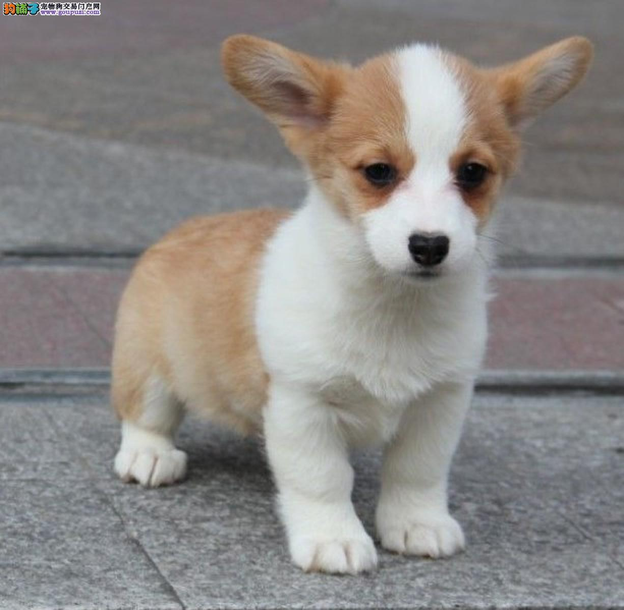 百分百纯正柯基犬 赛级血统 国际CKU皇家柯基犬