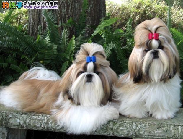 太原西施犬价格质保三年终身售后公母都有签售后协议