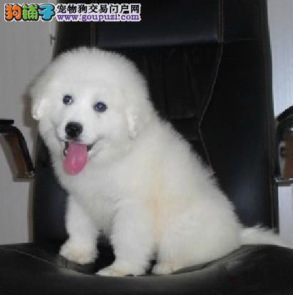 西安售纯种大白熊 大白熊犬幼犬公母全有可挑选