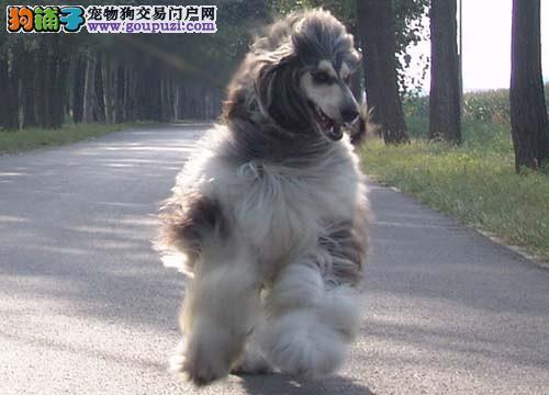 上海阿富汗可免费送货,视频看狗,疫苗打全保纯种