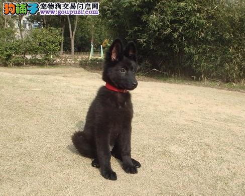 贵阳市出售比利时牧羊犬 包纯种 包健康 签订购犬协议