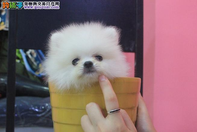 热销多只优秀的贵阳纯种茶杯犬幼犬喜欢微信咨询