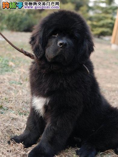 哈尔售国外引进赛级纽芬兰犬 温顺热情 甜蜜伴侣犬
