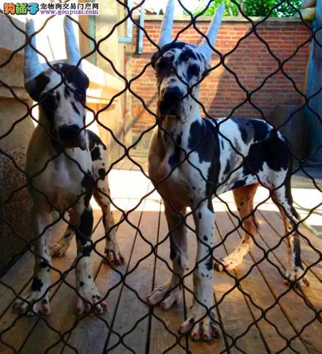 大丹犬成都CKU认证犬舍自繁自销终身售后送货图片