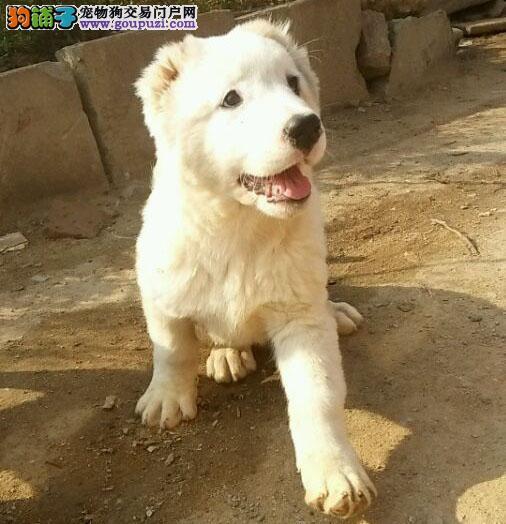 中亚牧羊犬幼犬热销中,一宠一证视频挑选,三年质保协议