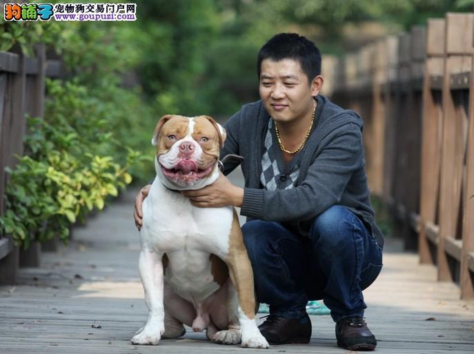 美国斗牛犬最大的正规犬舍完美售后欢迎爱狗人士上门选购