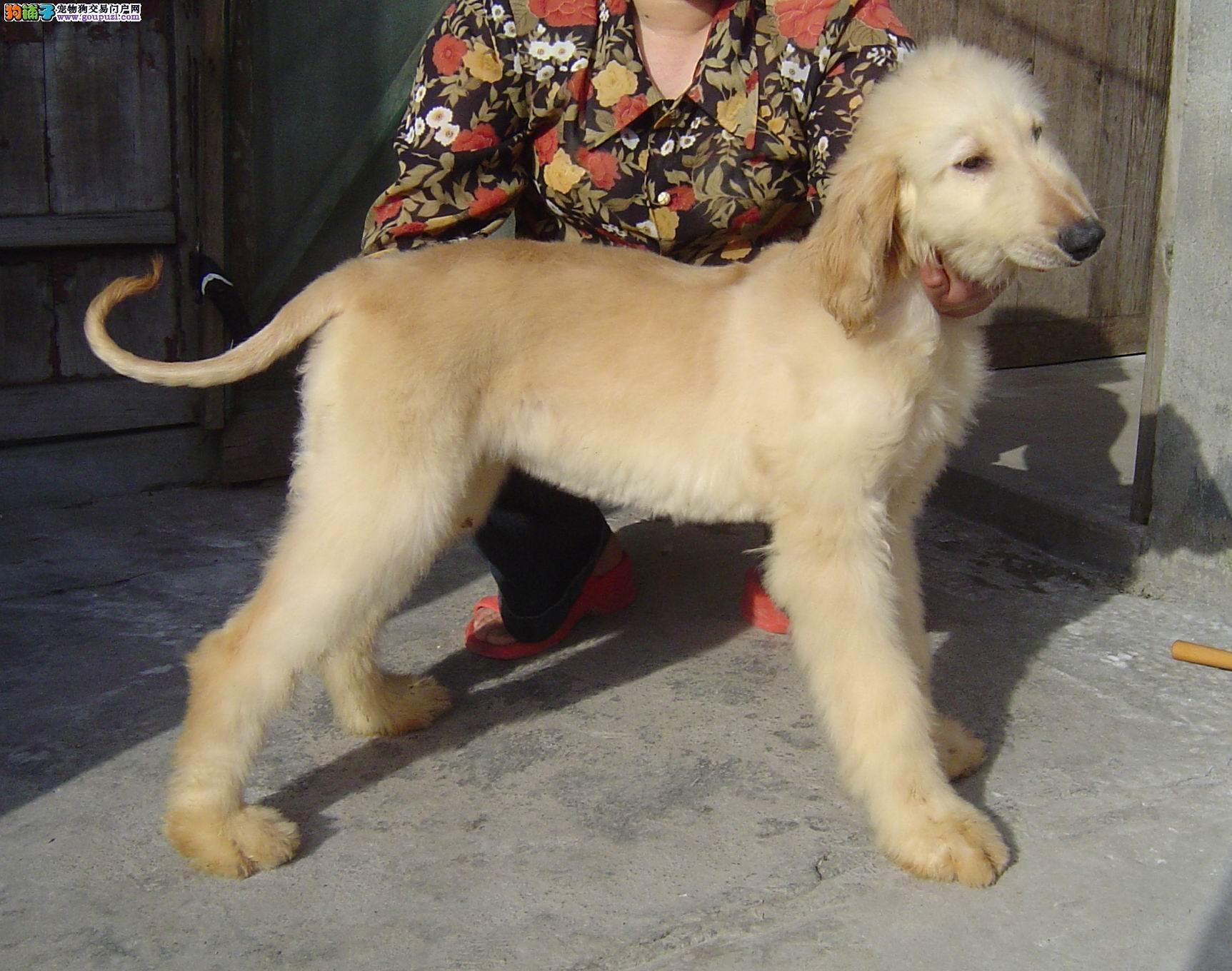 郑州长毛飘逸 气质非凡 阿富汗猎犬幼犬待售