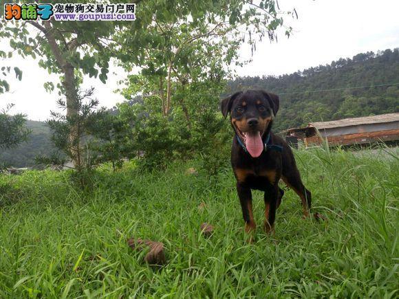 南宁市高品质纯种罗威纳犬出售 纯种罗威纳犬幼犬出售