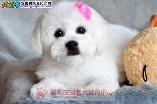 大眼睛甜美脸型法系小体大毛量纽扣眼比熊幼犬出售