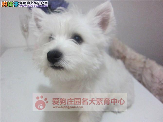 专业犬舍繁殖西高地幼犬出售,保证健康纯种