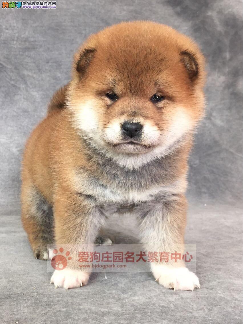 专业繁殖出售高智商日本柴犬包纯种健康欢迎上门选购