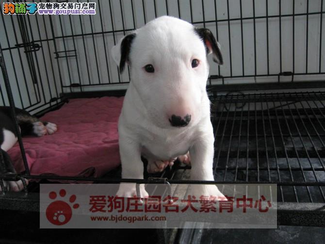 赛级牛头梗幼犬出售,保证纯种健康