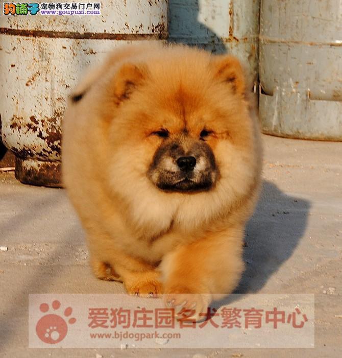 高端松狮犬繁育犬舍 出售顶级松狮幼犬