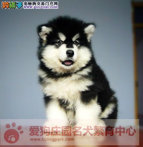 赛级幼犬精品 阿拉斯加可亲自来犬舍选购