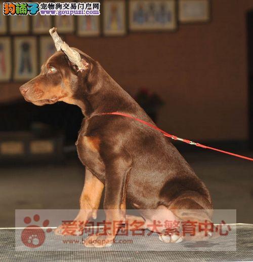 赛级杜宾幼犬出售中,保证健康纯种