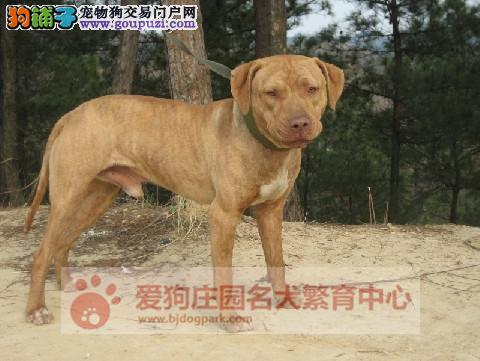 专业繁殖比特幼犬出售中,保证健康纯种